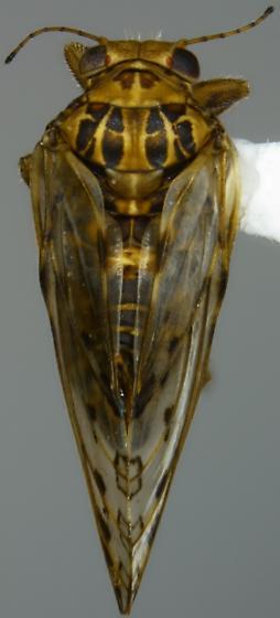 Pachypsylla venusta - male