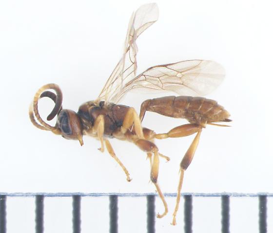Ichneumonidae, lateral - female