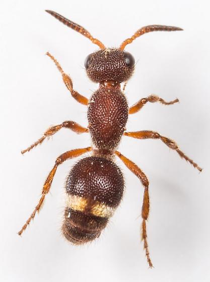 Velvet Ant - Ephuta