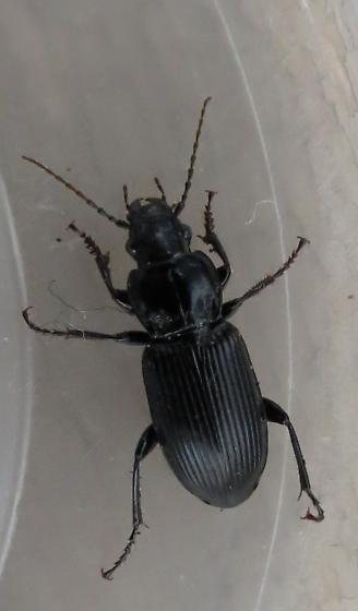 Ground beetle - Pterostichus