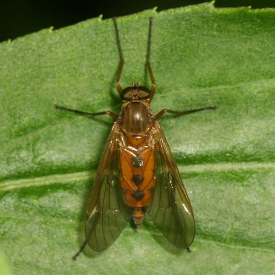 Snipe fly? - Rhagio tringarius - female