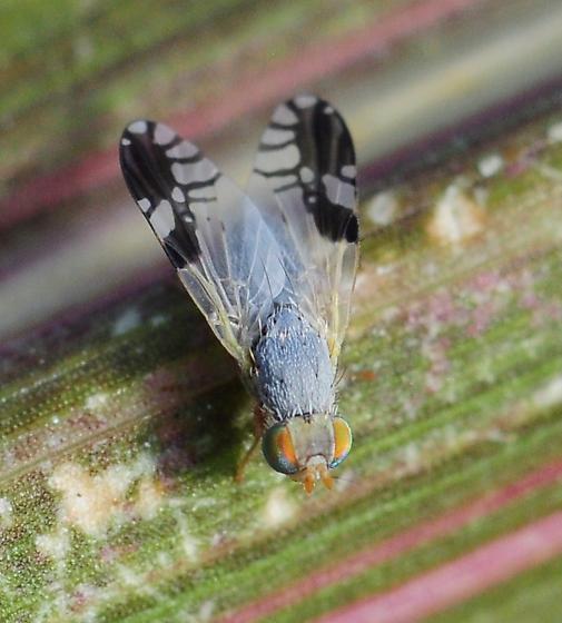 Trupanea nigricornis? - Trupanea bisetosa - male