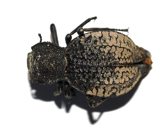 Tenebrionid - Philolithus morbillosus