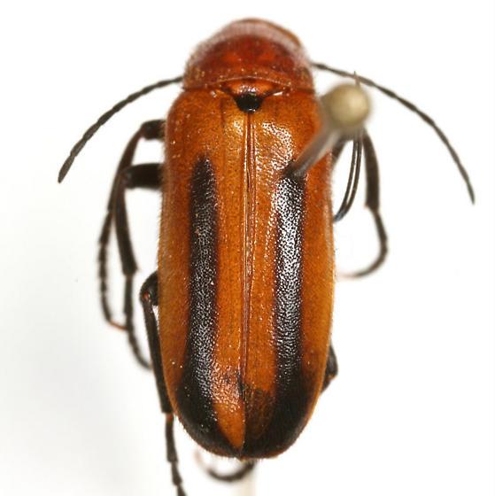 Nemognatha piazata bicolor LeConte - Nemognatha piazata