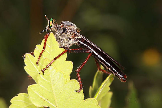 Microstylum morosum - female