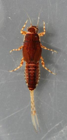 Ephemerella dorothea infrequens - voucher specimens, in alcohol - Ephemerella dorothea - female