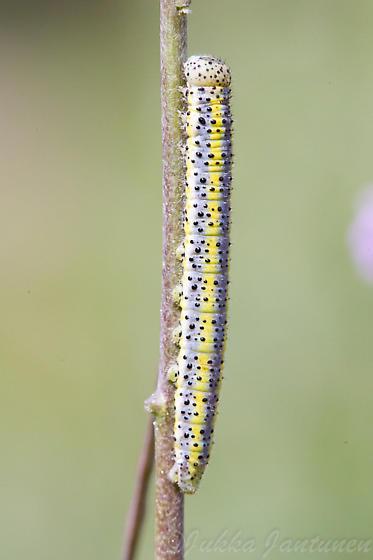 caterpillar - Pontia occidentalis