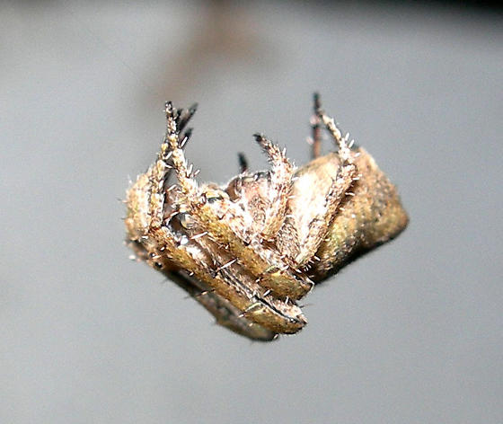 Spider - Eustala anastera