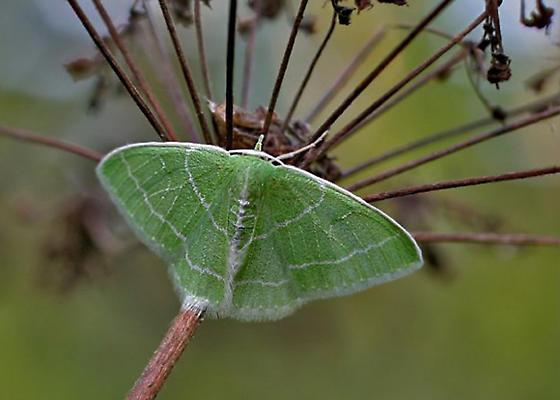 Green Moth White-Fringed Emerald - Nemoria mimosaria - Synchlora aerata