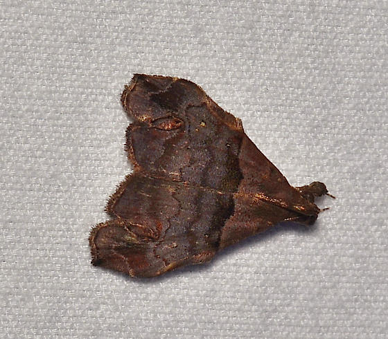 Unidentified Moth - Lascoria - male