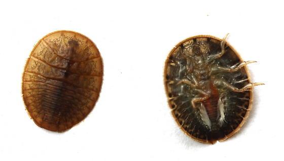 Psephenus herricki