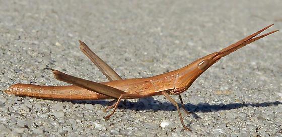 Longheaded Toothpick Grasshopper (Achurum carinatum)