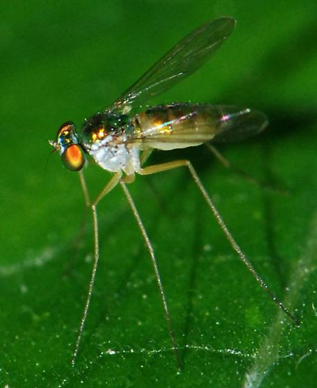 golden Long-legged Fly - Amblypsilopus bicolor - female