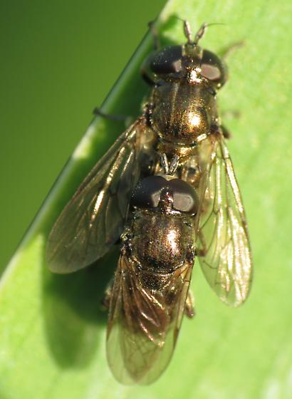 Fly Columbia Hills - Eumerus - male - female