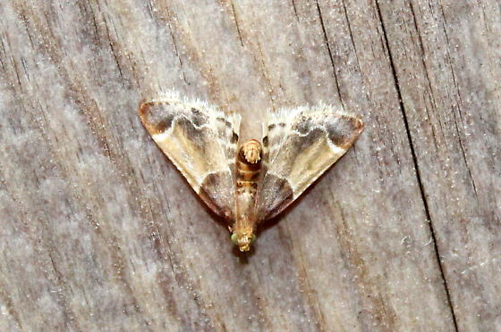 Unknown tiny moth - Pyralis farinalis
