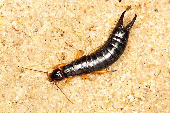 Beetle larva - Anisolabis maritima - female