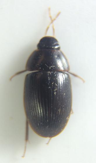 Beetle - Helocombus bifidus