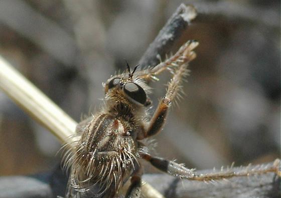 Dapper Robber - Stenopogon breviusculus - male