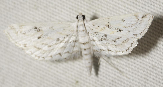 Last moth from Dirk's place - Parapoynx allionealis