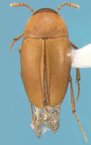 Leiodid - Ptomaphagus californicus