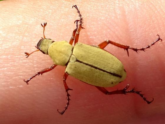Yellow beetle - Macrodactylus uniformis