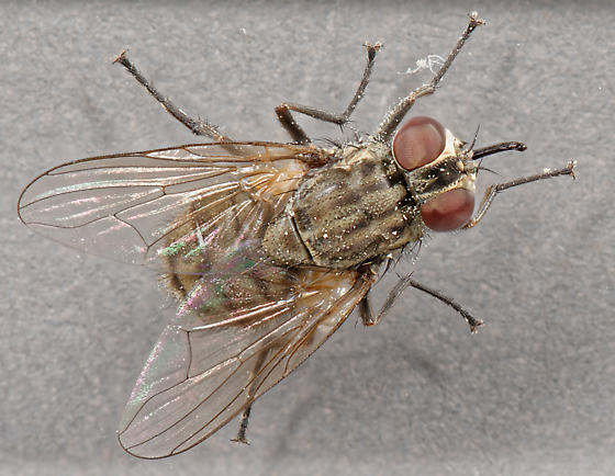 Stable Fly - Stomoxys calcitrans - male