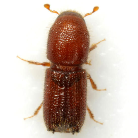 Orthotomicus caelatus (Eichhoff) - Orthotomicus caelatus