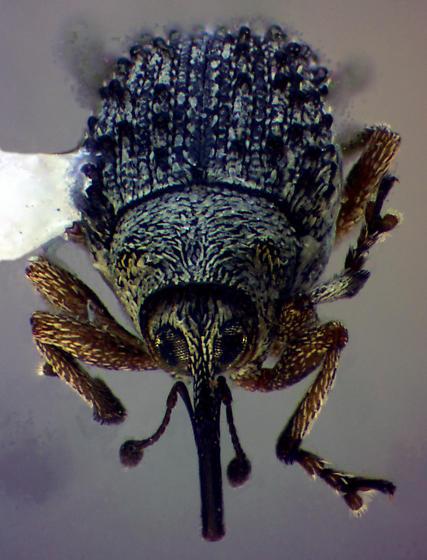 Bumpy Ceutorhynchin - Ceutorhynchus