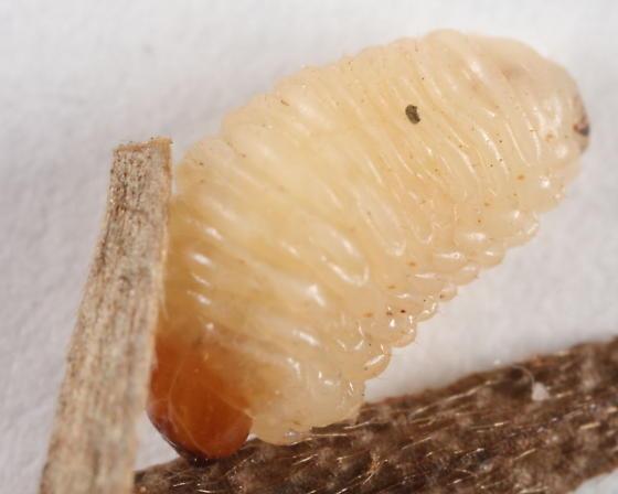 Acorn weevil - Curculio