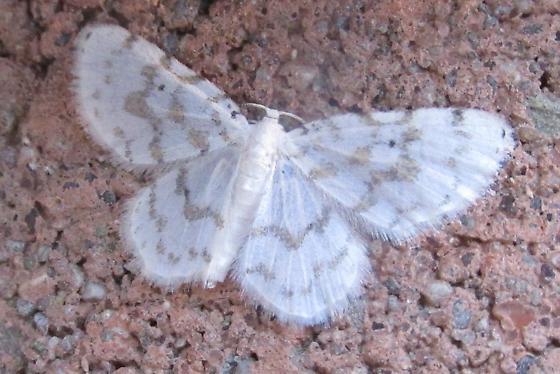 Species Hydrelia albifera - Fragile White Carpet - Hodges#7423 - Hydrelia albifera
