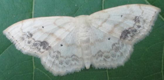 moth - Scopula limboundata