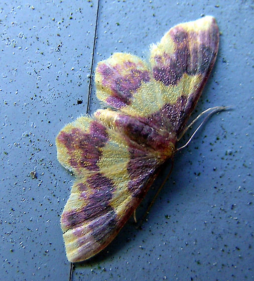 Moth - Lophosis labeculata - female