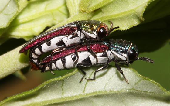 Mating - Agrilus pulchellus - male - female