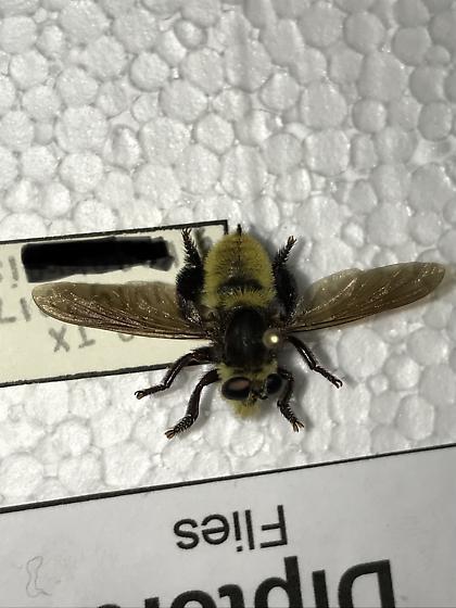 Asilidae or Syrphidae? Or ??? - Mallophora fautrix - female