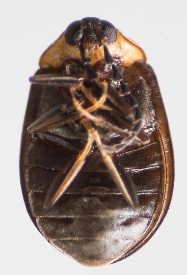 Beetle - Ectopria nervosa - female