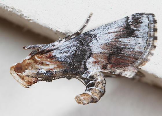 Toripalpus cf. trabalis-2 - Toripalpus