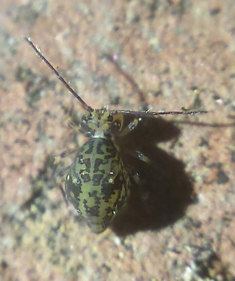 Insect - Ptenothrix beta