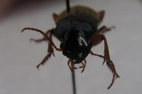 Ground Beetles - Harpalus rufipes - male