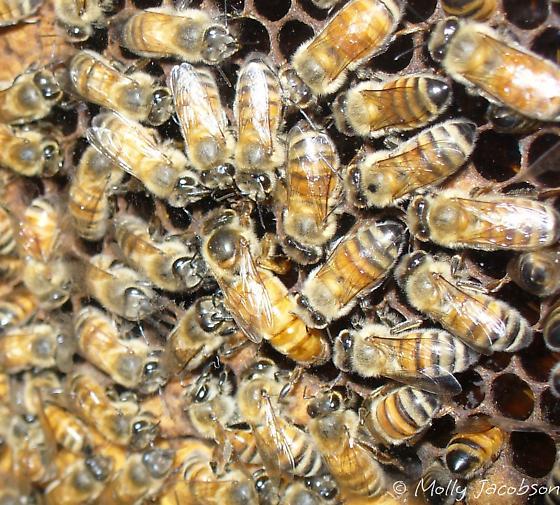 bees and queen - Apis mellifera - female