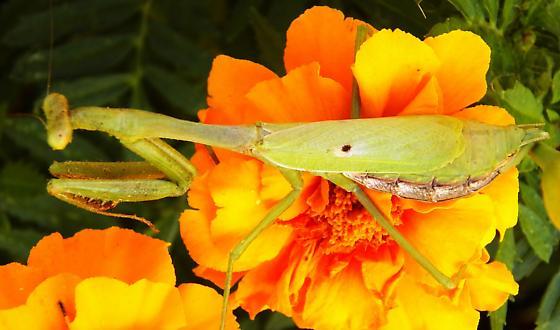 Carolina mantis - Stagmomantis carolina - female