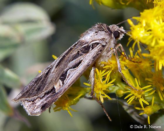 Black and gray moth - Feltia jaculifera