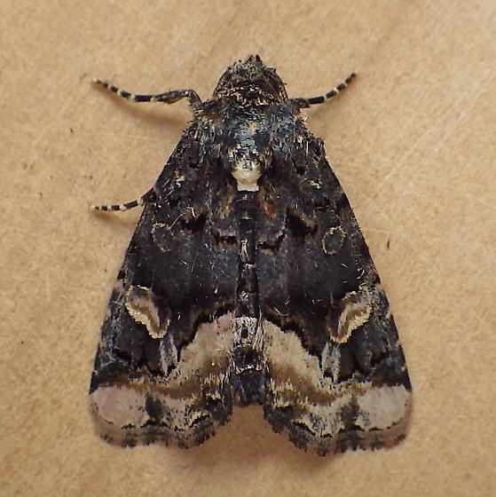 Noctuidae: Homophoberia apicosa - Homophoberia apicosa
