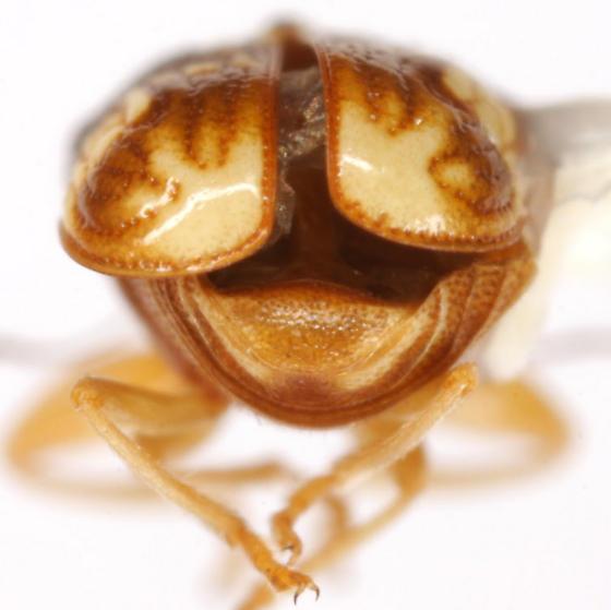 Pachybrachis bullatus Fall - Pachybrachis bullatus