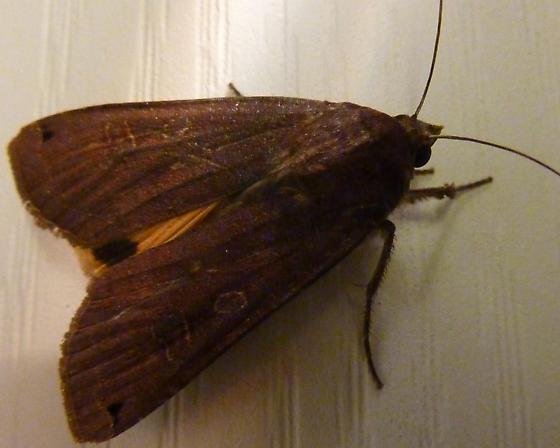 cutworm moth