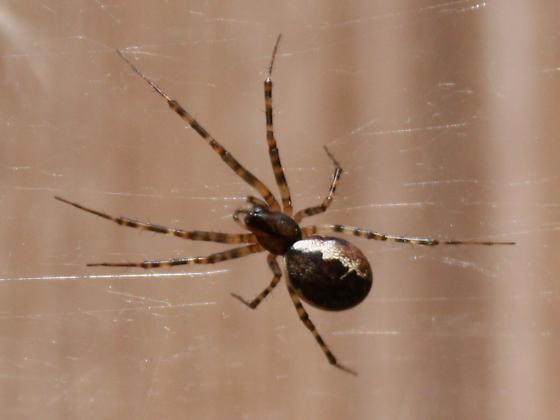 Brown spider 2 white stripes and hairy banded legs - Neriene