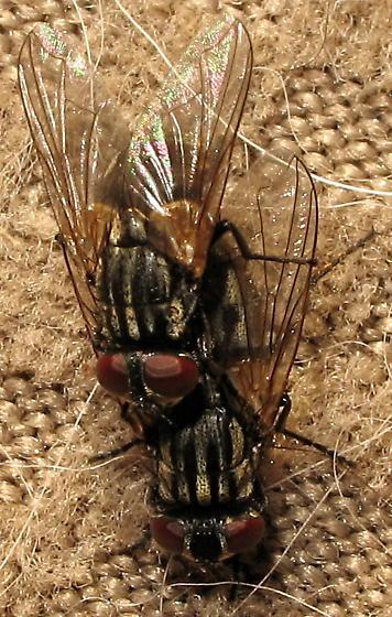 House flies - Musca domestica - male - female