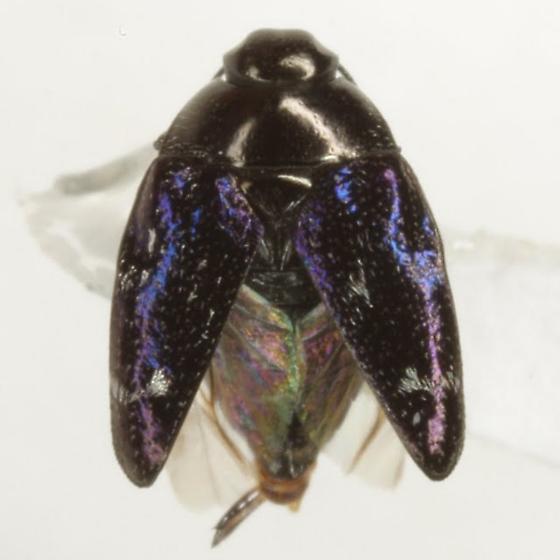 Pachyschelus purpureus (Say) - Pachyschelus purpureus