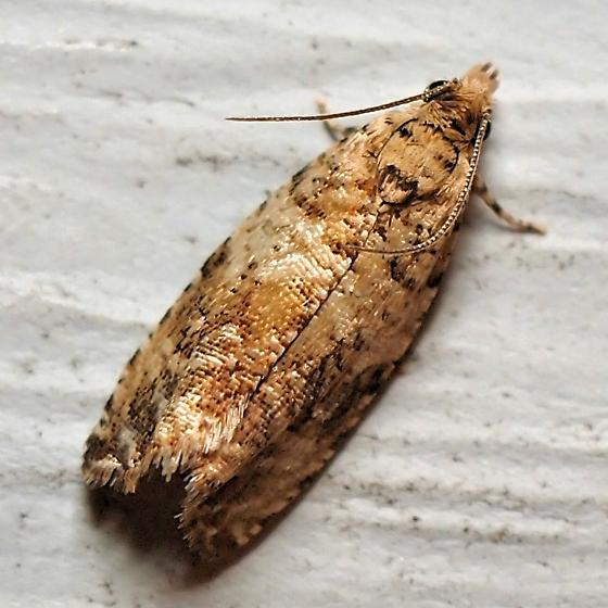 Unknown Tortricid Moth - Celypha cespitana