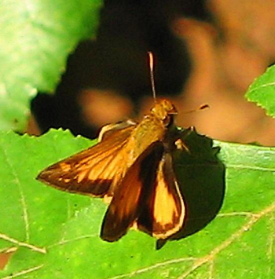 Fiery Skipper (Hylephila phyleus)? - Poanes zabulon - male