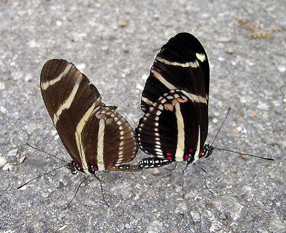 Adults mating - Heliconius charithonia - male - female
